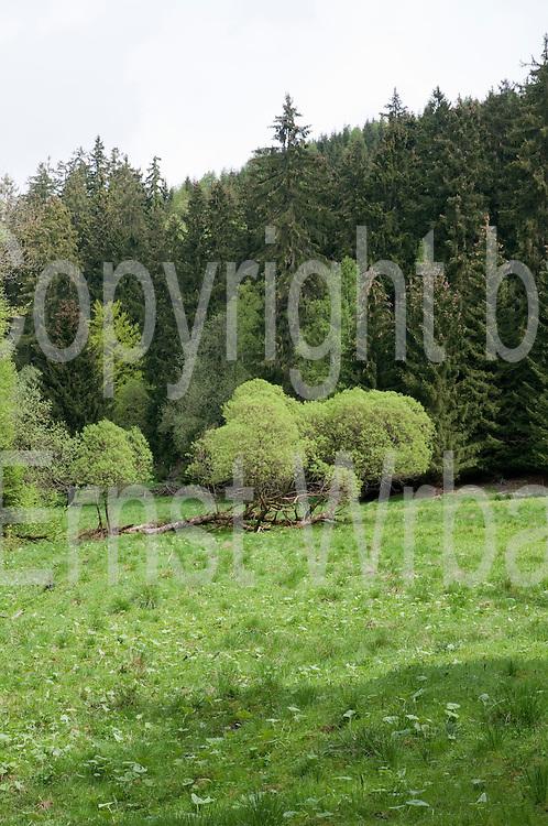 Lichtung zwischen Hohegeiß und Braunlage , Wald, Harz, Niedersachsen, Deutschland | meadow, forest near Hohegeiß, Harz, Lower Saxony, Germany