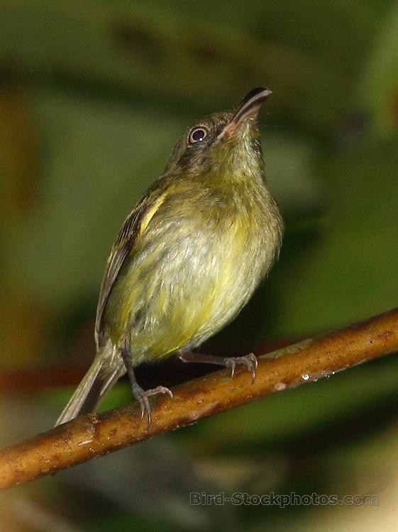 Southern Bentbill, Oncostoma olivaceum, Panama