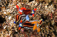 Mating Nembrotha Nudibranchs...Shot in Indonesia