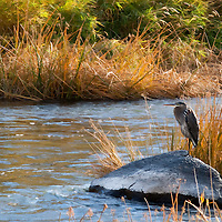 A Blue Heron sits on a rock in the Crooked River in eastern Oregon on an autumn afternoon.