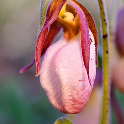 A pink lady's slipper, Cypripedium acaule, near Kettle Pond in Vermont's Groton State Forest.
