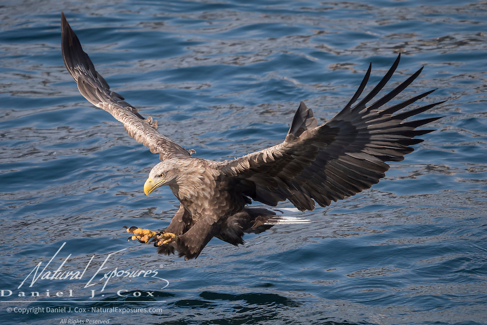 White-tailed eagle (Haliaeetus albicilla) flying in Hokkaido, Japan.