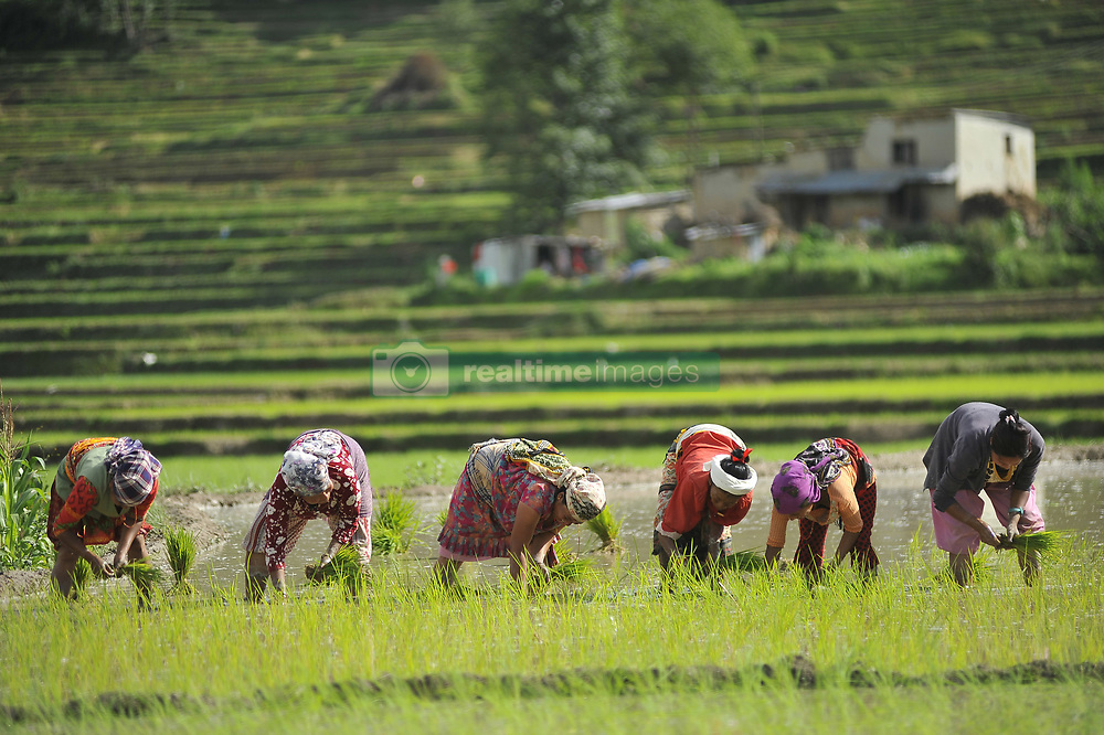 June 29, 2017 - Kathmandu, NP, Nepal - Nepalese farmer's plants Rice Samplings during the celebration of National Paddy Day ''ASHAD 15'' at Chhampi, Patan, Nepal on Thursday, June 29, 2017. Nepalese people celebrates Rice Plantation (National Paddy Day) Celebration on ''ASHAD 15'' (Nepali Calendar Date). Nationwide by planting rice, playing on mud and eating curd and beaten rice in the rice field. Due to the less rainfall on monsoon season, Most of the people Plants Rice by pumping water from nearer water source. (Credit Image: © Narayan Maharjan/Pacific Press via ZUMA Wire)