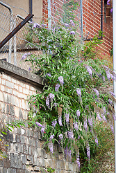 Buddleia growing out of a wall at Stroud Railway Station. Buddleja davidii