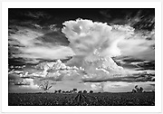 An epic New England summer sky over a sorghum crop outside Inverell [Inverell, NSW]. <br />
