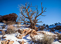 An old dead Juniper tree in Arches National Park, Utah, USA.
