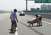 FUZHOU, CHINA - AUGUST 05: (CHINA OUT) <br /> <br /> A van carrying 12 pigs turns over on major Road<br /> <br /> Two men try to catch a pig on the third ring road in Fuzhou, Fujian Province of China. A van carrying 12 pigs turned over on the third ring road on Monday. A pig died of heatstroke as the temperature reached 40 degrees Celsius. <br /> ©Exclusivepix