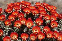 Claret Cup Cactus, Echinocereus occineus, Sutton County, TX.