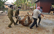 March 1, 2016 - Dimapur, India - <br /> <br /> Tigress killed by villagers in Nagaland-India<br /> <br /> Official examine the body of the Tigress for post-mortem at the Nagaland Forest office after it was killed by villagers in Dimapur, India north eastern state of Nagaland on Tuesday, March 01, 2016. A Tigress was killed by villagers at Medzhiphema village outskirt of Dimapur on February 29 evening after the Tigress was troubling the village for over a week raiding livestock and attacks a man. The Tigress was later handed over to Forest official for examination, according to local media. <br /> ©Exclusivepix Media