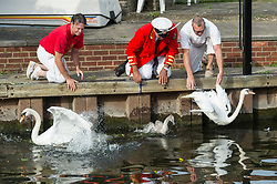 Swan Upping takes place on the River Thames near Windsor, Berkshire, UK. The annual event dates from medieval times, when The Crown claimed ownership of all mute swans which were considered an important food source for banquets and feasts. Today, the cygnets are weighed and measured to obtain estimates of growth rates and the birds are examined for any sign of injury, commonly caused by fishing hook and line. The cygnets are ringed with individual identification numbers by The Queen's Swan Warden, whose role is scientific and non-ceremonial. The Queen's Swan Marker produces an annual report after Swan Upping detailing the number of swans, broods and cygnets counted during the week. . Photo credit: Ray Tang/LNP