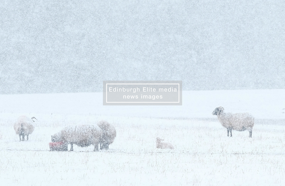 Heavy Snowfall in West Lothian, Wednesday, 4th April 2018<br /> <br /> More heavy snow fell in West Lothian this afternoon causing traffic problems for drivers on the M8 Edinburgh to Glasgow motorway.<br /> <br /> Some sheep with their lambs in the snow<br /> <br /> Alex Todd   EEm