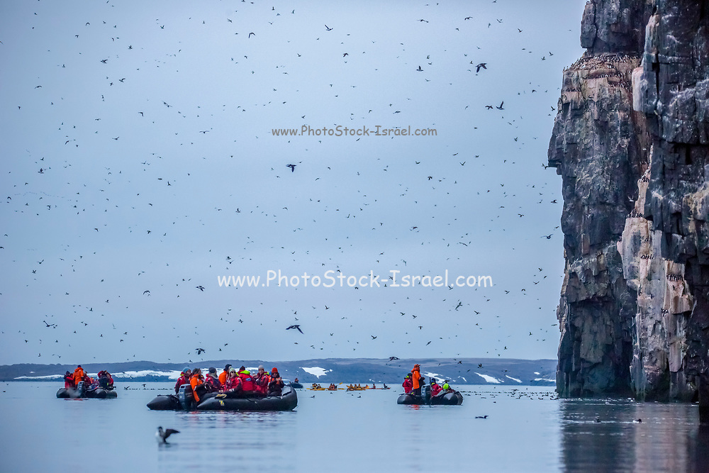 Nesting colony of Thick-billed murre or Brünnich's guillemot (Uria lomvia)  at Aalkefjellet Hinlopenstretet Spitsbergen, Svalbard, home to over 60,000 pairs in July. This coastal seabird is native to northern latitudes of Europe, Asia and North America. It feeds mainly on fish and breeds in large colonies on cliff-sides. Photographed in July in Norway's Svalbard archipelago in the Arctic.