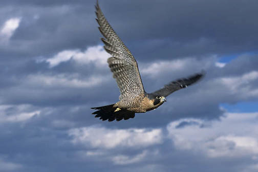 Peregrine falcon (Falco peregrinus) in flight.  Captive Animal