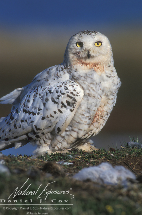 Snowy Owl (Nyctea scandiaca) female adult at a nest. Barrow, Alaska