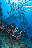 Schools of Jacks and Snappers<br /> <br /> <br /> Shot at Cocos Island, Costa Rica