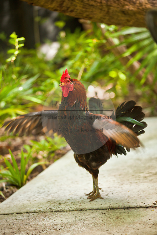 A feral rooster scratches around in the yard of a home in Key West, Florida.