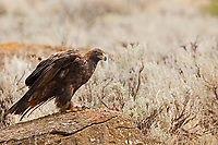 A Golden Eagle perches on a rock on a sagebrush hillside in the northern Utah Mountains.