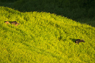 Bubalus mindorensis, tamaraw, Tamarau, tamarao, 民都洛水牛, ミンドロスイギュウ, جاموس ميندورو القزم