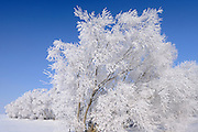 Hoarfrost covered trees<br />