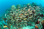 A school of Tomtate Grunts, Haemulon aurolineatum, swims over the Breakers Reef offshore Palm Beach, Florida, United States.