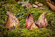 In late winter, skunk cabbage is emerging from a bed of moss.