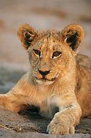 Lion resting close-up