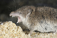 Lesser White-toothed Shrew Crocidura suaveolens Length 8-12cm In British context, restricted to the Isles of Scilly, and Jersey and Sark in the Channel Islands; it has grey-brown fur and white-tipped teeth. Often forages on seashore on Isles of Scilly.