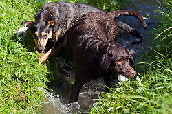 A playful Black and Tan juvenile mongrel dog play fights in small stream with a Chocolate Brown Labrador in a local Park<br />