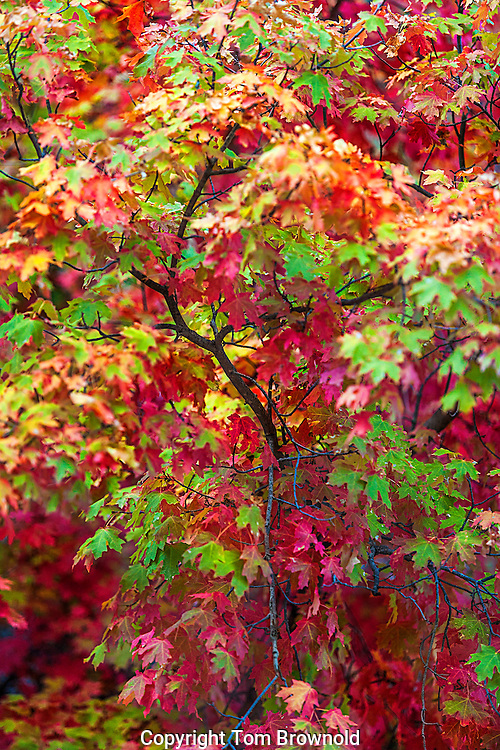 Maple leaves during the autumn color change in the Galiuros mountains