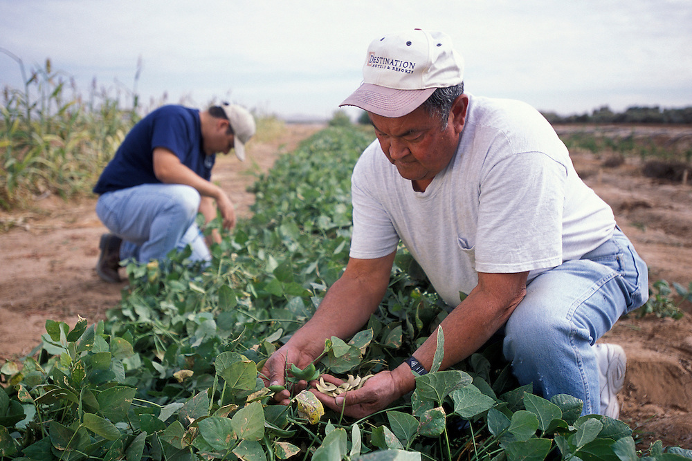 The University of Arizona is working to propagate ancient varieties of beans?such as spotted lima and orange pima lima beans?historically grown by Pima Indians in the region.  According to the American Livestock Breeds Conservancy, 63 percent of native American crop varieties have disappeared from cultivation since Europeans arrived on the continent.  It is natural for farmers to want to plant crop varieties that produce the greatest yields or are best suited to the current marketplace, but when all farmers work toward the same goal, varieties with other attributes are left by the wayside. These varieties are known as ?heirloom? crop varieties.  While they may lag behind in yields, they often make up for it in other traits such as flavor or texture.  They also are an important source of genetic diversity and are often preserved by seed banks and organizations such as Native Seeds/SEARCH.  .
