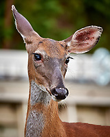 Doe up close (with a cataract?) Image taken with a Nikon D3s camera and 80-400 mm VRII lens