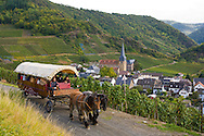 Europe, Germany, Rhineland-Palatinate, Eifel region, the village Mayschoss at the river Ahr, St. Nikolaus und St. Rochus church, tour with a horse wagon through the vineyards.<br /> <br /> Europa, Deutschland, Rheinland-Pfalz, Eifel, die Ortschaft Mayschoss an der Ahr, St. Nikolaus und St. Rochus Kirche, Fahrt mit dem Pferdewagen durch die Weinberge.