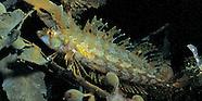 Topknot fish