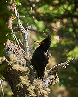 Female Magellanic woodpecker looking for food. Image taken with a Nikon D3x camera and 70-300 mm VR lens (ISO 100, 300 mm, f/11, 1/100 sec).