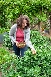 Harvesting peas - Pisum sativum - into a basket.