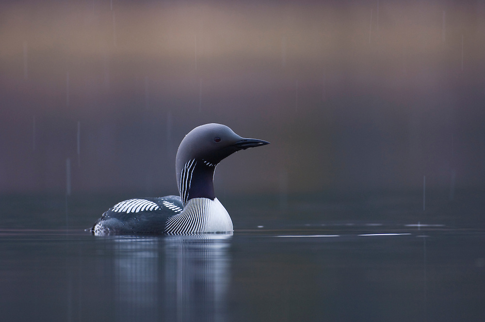 Black throated diver swimming in the rain
