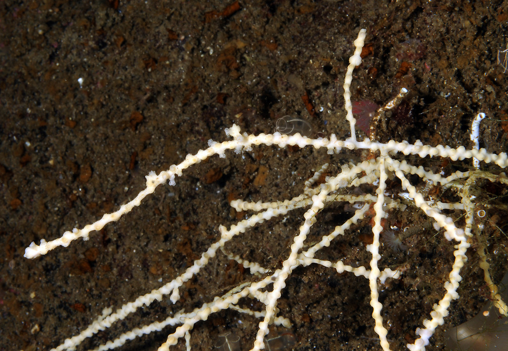 Northern sea fan (Swiftia pallida). Location : Hardangerfjorden, Norway