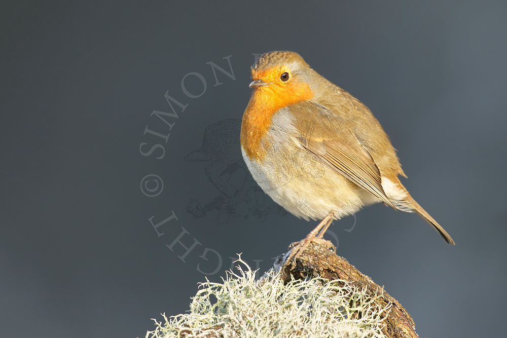 European Robin (Erithacus rubecula) adult,perched on fallen branch, South Norfolk, UK. January.