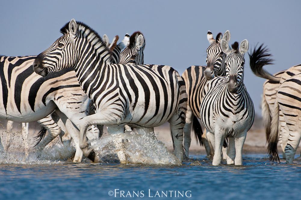 Zebras bolting from waterhole, Equus quagga, Etosha National Park, Namibia