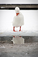 JEROME A. POLLOS/Press..A goose clean their feathers Monday while standing on the ice of Fernan Lake.