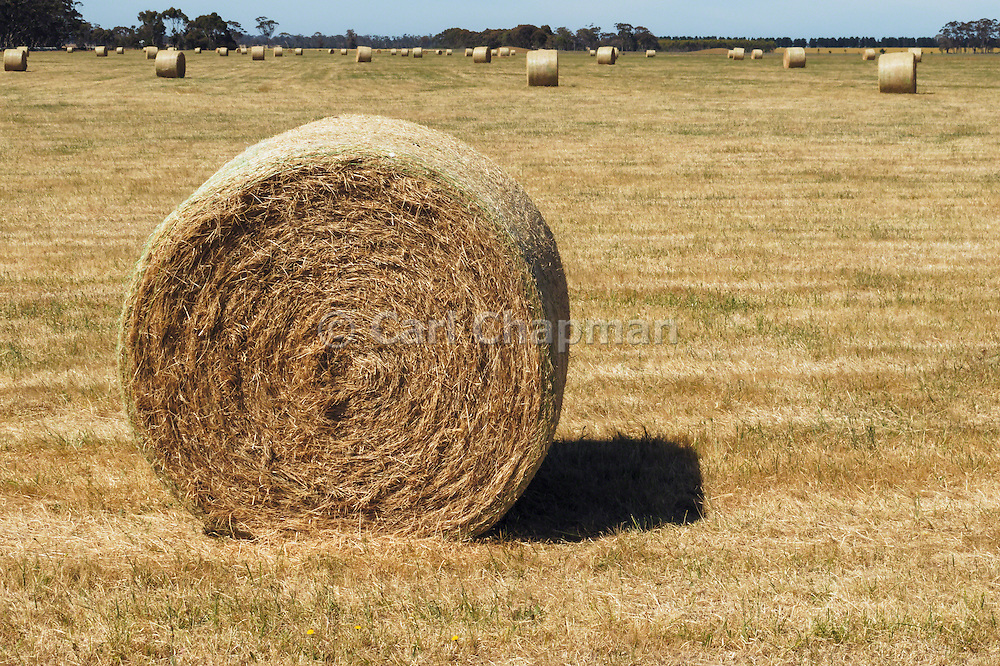 Round hay bales in a paddock on a farm after baling in rural Mingay, Victoria, Australia.