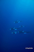 pod of orcas, or killer whales, Orcinus orca, underwater, King Bank, New Zealand ( South Pacific Ocean )