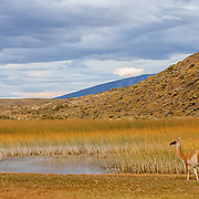 Guanacos (lama guanicoe) grazing in Torres del Paine National Park in the Patagonia region of Chile.