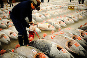 A market worker paints identification numbers on large tuna lined up for auction at the world's largest fish and marine products market in Tsukiji, Tokyo on Monday 30 March 2009.