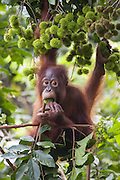 Bornean Orangutan <br /> Pongo pygmaeus<br /> Four-year-old baby eating wild fruit<br /> Tanjung Puting National Park, Indonesia