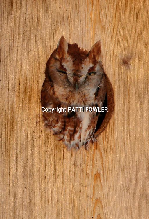 Screech owl sunning in opening of wood duck box