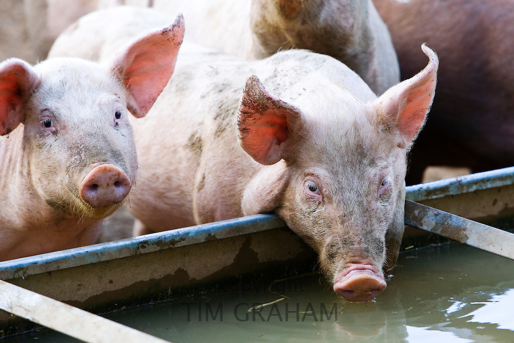 Gloucester Old Spot pigs, Gloucestershire, United Kingdom