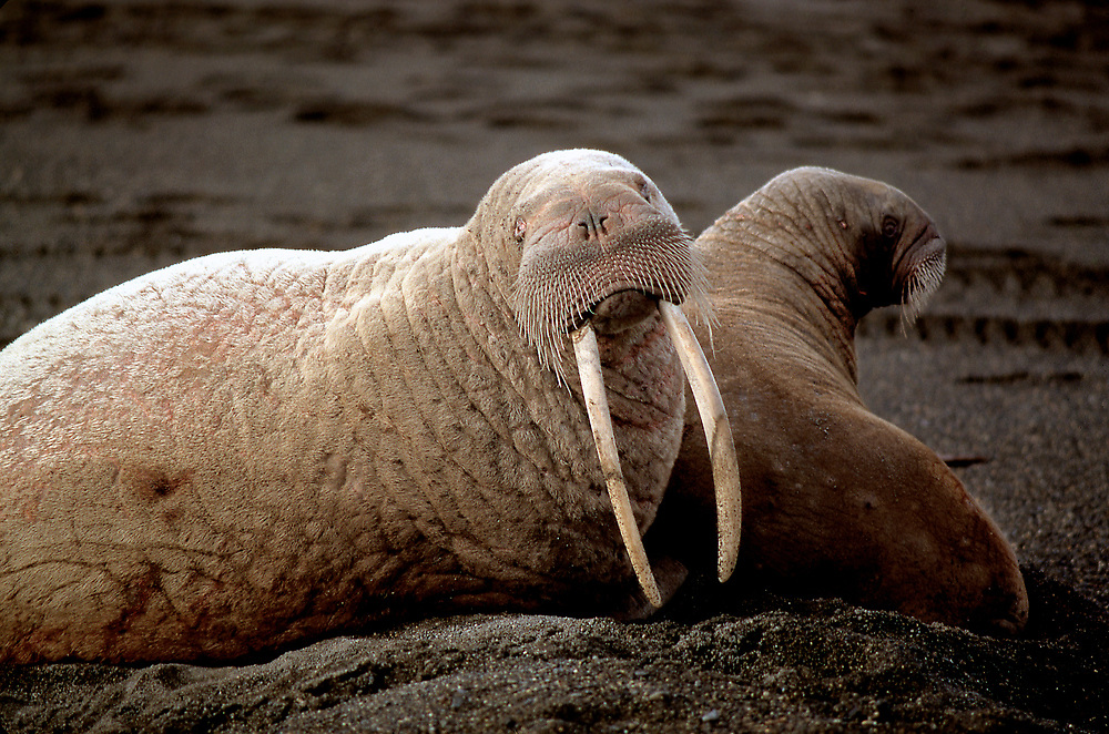 Barrow, Alaska. Walrus and pup on Barrow Beach.