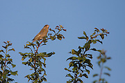 Greenfinch perched at the top of a tree, lit by the late evening sun. One of a pair that were calling.