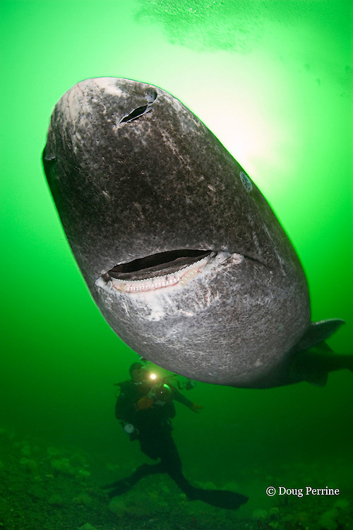 Greenland sleeper shark, Somniosus microcephalus, <br /> and photographer, St. Lawrence River estuary, Canada (this shark was wild & unrestrained; it was not hooked and tail-roped as in most or all photos from the Arctic) MR 373